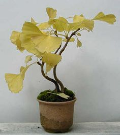 GINKGO (Ginkgo Biloba) : Bonsai Care Guide. Great advice for pruning Ginkgo trees. These are very primitive and grow very differently. They require special care and techniques for creating Bonsai.
