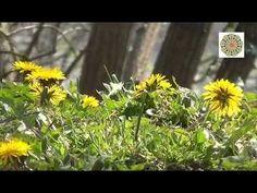 PÚPAVA - Božia bylinka, do ktorej sa zamilujete Gardening, Youtube, Plants, Lawn And Garden, Plant, Youtubers, Youtube Movies, Planets, Horticulture