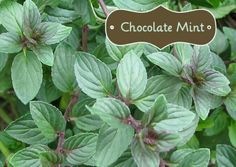 Bought a Chocolate Mint Plant. What exactly can you do with a Chocolate Mint Plant? I've provided some recipes and ideas for you!What exactly can you do with a Chocolate Mint Plant? I've provided some recipes and ideas for you! Chocolate Mint Plant, Menta Chocolate, Mint Chocolate Chips, Chocolate Mint Herb Recipe, Delicious Chocolate, Hot Chocolate, Peppermint Plants, Peppermint Tea, Mint Recipes