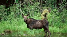 Moose Targeted For Protection After 60 Percent Decline | ThinkProgress