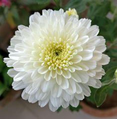 White Chrysanthemum - All For Garden White Chrysanthemum, Home Flowers, Birth Flowers, Natural Garden, Flower Dresses, Flower Beds, Diy Painting, Body Art Tattoos, Watercolor Flowers