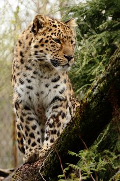 Photograph Amurleopard by Andre Promnitz on 500px