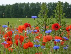 L'Assommoir Poppies and Cornflowers  by Andrew Hill