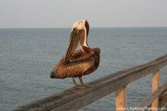 Pier Resident