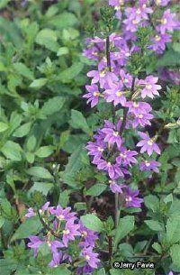 Scaveola, Fairy Fan-Flower - description
