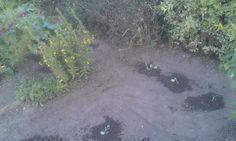 Autres plants dont les étiquettes se sont perdues ; chou-fleurs, brocolis, choux de Bruxelles, choux chinois, romanescos... à identifier quand ça poussera un peu plus ;-)
