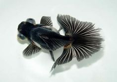 blackbutterflytail.jpg