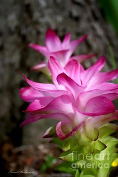 Curcuma #Ginger by Debra Forand, Forand Photography #flowerphotography