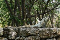 2017-03 Iguana Hotel Hacienda Ticum Yucatan Mexico. . . . . . #toptravelspot #iguana #haciendaticum #hotel #tropics #merida #yucatan #locationindependent #travel #traveling #instantraveling #instatraveling #travelphotography #sonyalpha