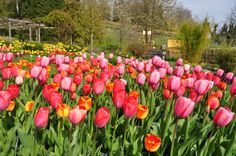 spring is finally here!  tulips at insel mainau, germany