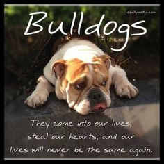 All the things we all like about the Friendly Bulldog Puppies English Bulldog Puppies, British Bulldog, English Bulldog Care, I Love Dogs, Puppy Love, Cute Dogs, Funny Dogs, Rottweiler, Bulldog Quotes