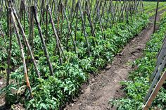 Sfaturile de îngrijire, bolile probabile și tratamentele chimice omologate acoperă intervalul de la transplantarea răsadurilor în câmp până la intrarea în pârgă a primului lot de tomate.