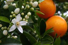 Oranjebloesem van Eau de Cartier d'Orange Essence
