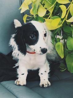 The Playfull Dachshund Puppies Size Piebald Dachshund, Dachshund Facts, Dachshund Funny, Dachshund Puppies, Weenie Dogs, Dachshund Love, Cute Puppies, Cute Dogs, Daschund