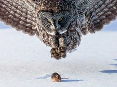 Pic - 14 - Owl and Mouse, Minnoesota - 23 Mind-Blowing Animal Pictures http://www.whattodowhenbored.ca/2014/05/23-mind-blowing-animal-pictures.html