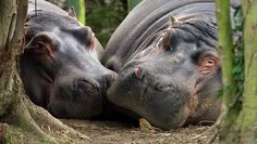 2 Hippos and a robin............