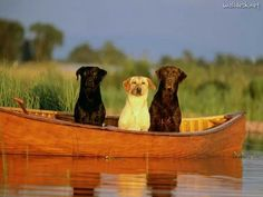Labs in canoe ...cute ;)