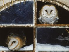 Barn Owls Looking out of a Barn Window  Pinned by www.myowlbarn.com