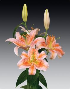 Terry loved her beautiful lilies and had them planted all over her gardens~Oriental Lily Salmon Star