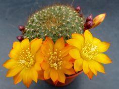 Photo : Rebutia marsoneri, Fleurs et plantes, Plouvien, Cactus. Toutes les photos de Malou TROEL sur L'Internaute