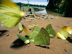 Riverbank Butterflies  [Photograph by Joel Sartore - the Tuichi River in Bolivia's Madidi National Park]