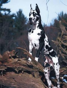 European Great Dane love everything Great Dane :*
