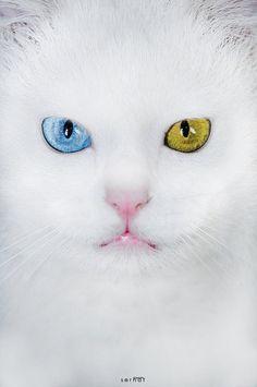 Gato branco de olhos coloridos