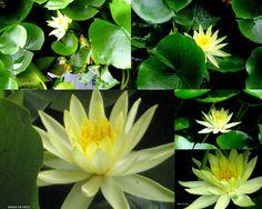 """"""" AS MINHAS FLORES"""": Encanto amarelo....e verde!"""