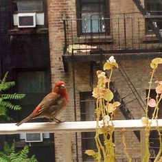 A Red House Finch visits #ues #nyc. #nycprimeshot by fredgatesdesign