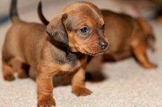 Adopt Dutch On Cindy S Stuff Adoptable Dachshund Dog Dachshund Dog Dogs