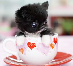 Tiny Teacup Puppy with White Paws! | Cute Puppy | Teacup Puppy | Paw This Love Your Dog? Visit our website NOW!