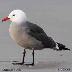 A Heermann's Gull along the coast in Victoria, located on Vancouver Island, British Columbia, Canada.