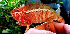 Buy panther chameleon for sale online. Panther chameleon breeders buy baby panther chameleons for sale near me. Best place to buy baby panther chameleons. Chameleon Terrarium, Chameleons For Sale, Australian Insects, Baby Panther, Chameleon Pet, Dog Store, Vinyl Fabric, Mountain Dogs, Most Beautiful Pictures