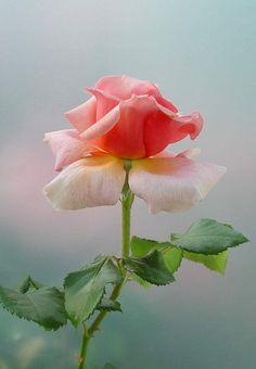 Самые свежие розы с доставкой по Киеву. Звоните! +38 050 419-43-49