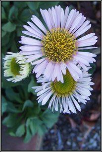 Irish Wildflowers - Seaside Daisy July - September