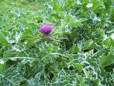 Milk thistle plant uses Milk Thistle Benefits, Amanita Phalloides, Thistle Plant, Vegetable Glycerin, Organic Vegetables, Natural Cures, Herbal Remedies, Detox, Herbalism