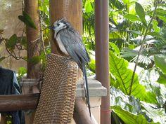 Coolest bird ever... at Lost Iguana Resort, La Fortuna, Costa Rica.