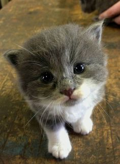 Y finalmente, el GATITO MÁS PELUDO Y CURIOSO DE TODA LA TIERRA. | 27 Imágenes de gatos que entibiarán tu corazón frío