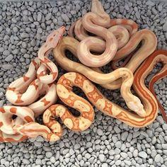 Kahl albino combinations.. BOAS F❤️R LIFE #boa #boas #boaconstrictor #boaconstrictors #boaofig #boaofinstagram #snake #snakes #snakeofig #snakesofig #snakeofinstagram #petofig #petofinstagram #redtail #redtails #redtailboa #snakebite #redtailboas #snakemorph #snakemorphs #boamorph #boamorphs #boasofinstagram #snake #snakes #reptile #reptiles #reptileofinstagram #snakeofinstagram #snakesofinstagram #coldblooded #Aarhus #Denmark