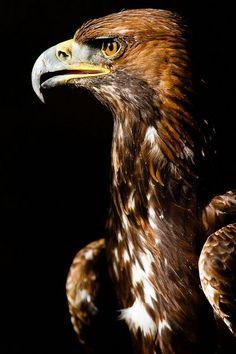birds of a feather — Golden Eagle. Photo by Mark Rellison Pretty Birds, Beautiful Birds, Animals Beautiful, All Birds, Birds Of Prey, Eagle Bird, Bald Eagle, Aigle Animal, Eagle Wallpaper