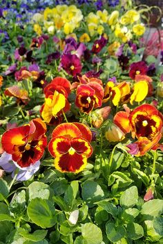 How to Grow Pansies and Violas for Multi-Season Color Winter Pansies, Garden News, Gardening Tools, Front Yards, Early Spring, Spring Garden, Winter Months, Season Colors, Growing Vegetables