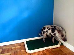 Mini Pig Potty Patch (Piddle Place)