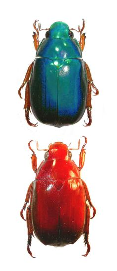 Anoplognathus smaragdinus , blue and red forms