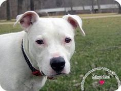 ***SWEET GIRL LONGS FOR LOVING HOME! 4/7/17 Sidney, OH - Pit Bull Terrier Mix. Penny's Story... Penny was found around Village Parkway Apartments. We are hoping her owners will come claim her . She is white in color with dark eyes. Penny seems to be a quiet little girl but energetic She will be up for adoption if not claimed by 2/18/17 Come see her at the Shelby County Animal Shelter. Sidney OH http://www.adoptapet.com/pet/17636554-sidney-ohio-pit-bull-terrier-mix