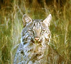 Carnivores residing in the mangroves of south Florida include the bobcat.