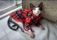 Sphynx cat clothes Emma's plaid donates to Feline by SimplySphynx #SphynxCat