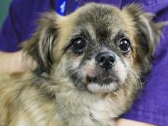 AMBER is an adoptable Pekingese Dog in New York, NY.  ...