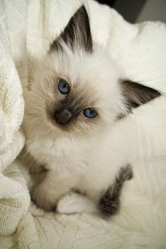 Ragdoll Cat - Rag-dolls are one of the biggest breeds around. It takes a kitten 3 years to grow to its mature size. Introduced in the 1960 by Ann Baker, said to be a crossbreed between an Angora and an unknown or possibly wild breed. There are few cats that come close to these mega-furrballs.
