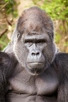 Mountain Gorilla, Prehistoric Animals, Primates, Animals Beautiful, Funny Animals, Africa, Creatures, Monkeys, Animals