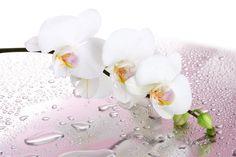 #woda, #kwiat, #Krople, #orchidea, #, #białe płatki
